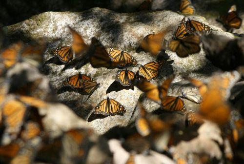 Butterfly Habitat & Release